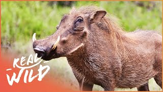 The Joy Of Pigs | Wild Things Documentary