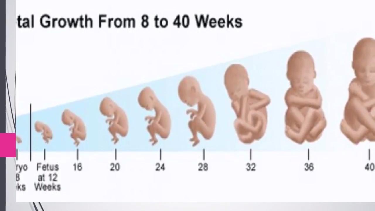 مراحل تطور الجنين أسبوعي ا المرحلة الأولى 1 3 أشهر Youtube