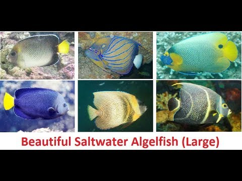 Beautiful Angelfish (Large) For Saltwater Aquarium