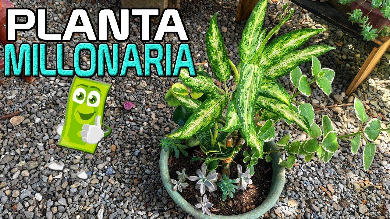 Dieffenbachia Cuidados y Reproduccion | Planta Millonaria o Loteria, Cuidados Difembaquia