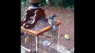 Burung manggaran purwokerto
