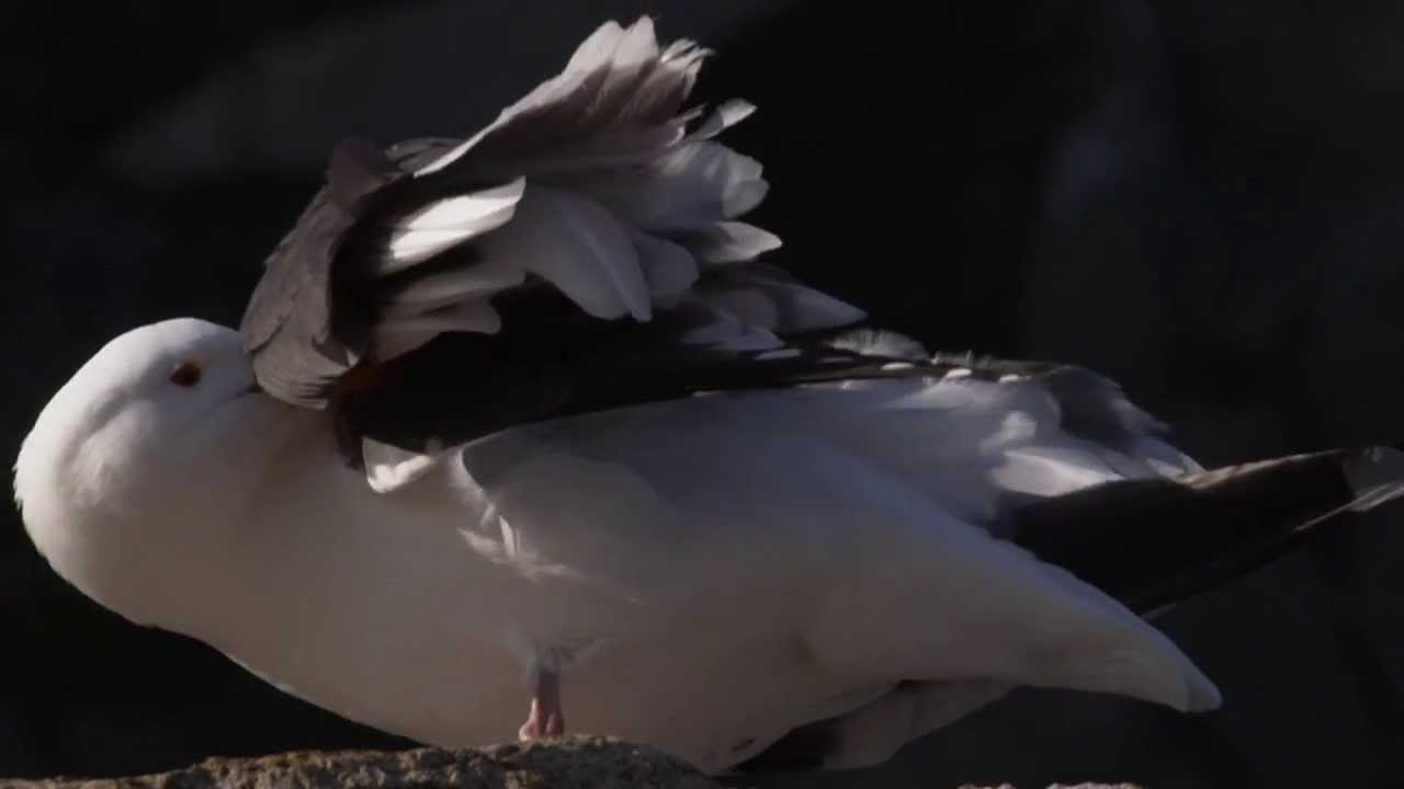 FLIGHT: The Genius of Birds - Feathers - YouTube