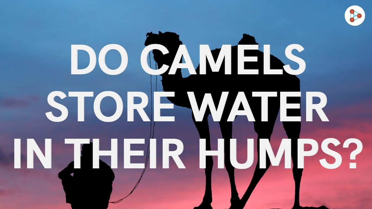 Do camels really store water in their humps? | Don't Memorise #Shorts