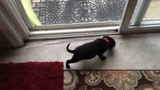 Black Labrador Retriever/pitbull Mix - Oso At 5 Weeks