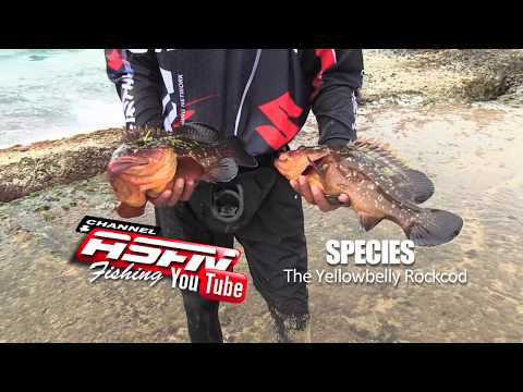 ASFN SPECIES - Yellow Belly Rockcod