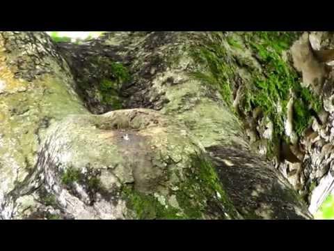 Oriental Pied Hornbill Nest-Singapore