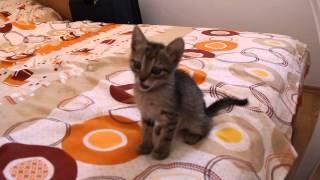 черногорский камышовый кот