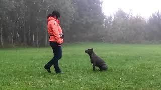 Обучение щенка кане-корсо ( Нора 4,5 мес)
