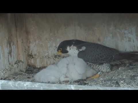 Chick passes away at Great Spirit Bluff Falcons nest. 22 May 2017