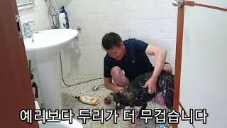 진돗개 네눈박이 #162. 구룡이와 예리 두리. 목욕하…