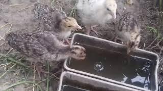 Витамины для птицы: траве - да, чиктоник - нет.
