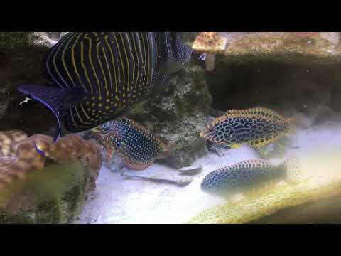 Introducing Ornate Leopard Wrasse To My Tank With Other Wrasses