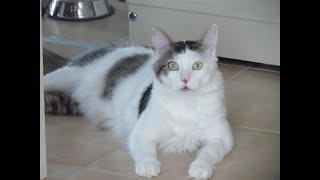 Akıllı kedi.Konuşan kedi.Sevimli kedi ŞANS