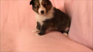 シェットランドシープドッグ(シェルティー、シェルティ)子犬販売。神...