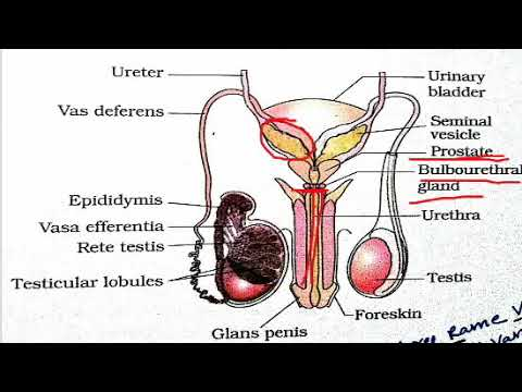 Male reproductive system diagramsNCERT overview  YouTube