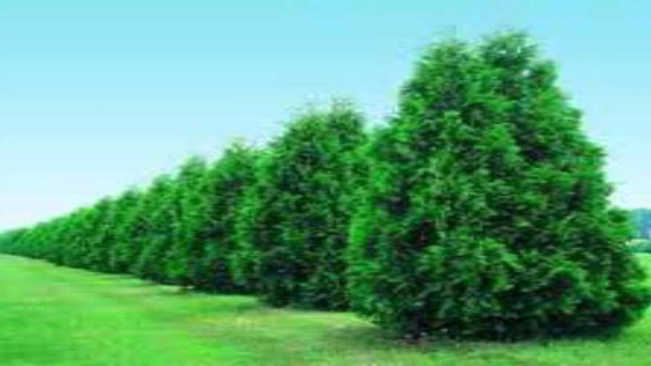 Thuja Green Giant Trees For Sale Wholesale At Tn Nurseries