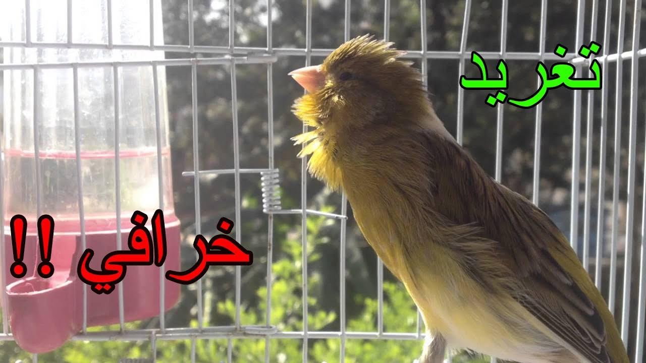 اقوى تغريد كناري للتسميع و تهييج الانات للتزاوج حصريا Canary Singing Training Youtube