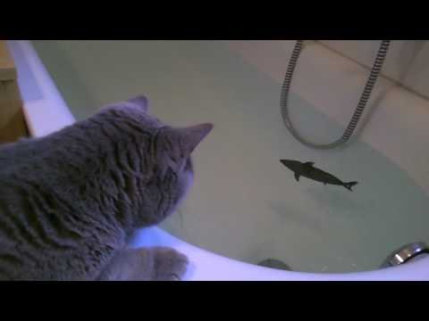 Thumbnail for Cat Video Cat vs Shark