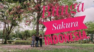 Bunga sakura indonesia. BatamIndo, Kepulauan Riau(Cinematic)