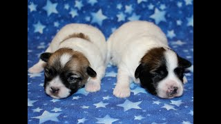 Coton Puppies For Sale - Kiwi 1/12/21