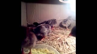Суточные цыплята(Цыплята из инкубатора от своих кур., 2014-04-30T12:40:37.000Z)