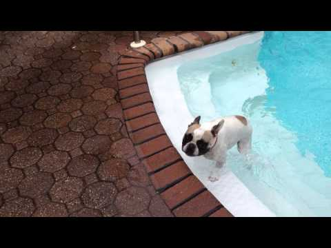 French Bulldogs Can Swim And Labrador Retriever Jumps In To Make Sure Frenchie Is Safe