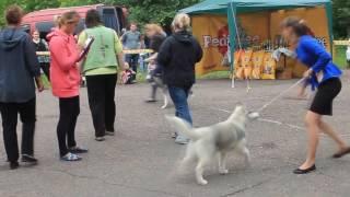 Хаски выставка собак чудит не подетски 2016