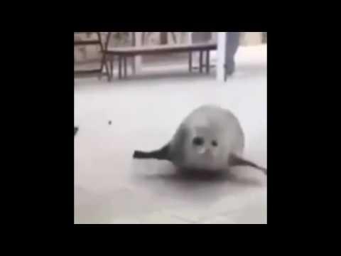 Bouncing Seal Song