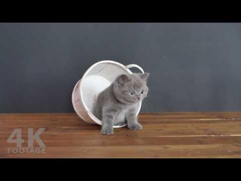Cute kittens having fun, British Shorthair babies rolling 7 weeks - 4K