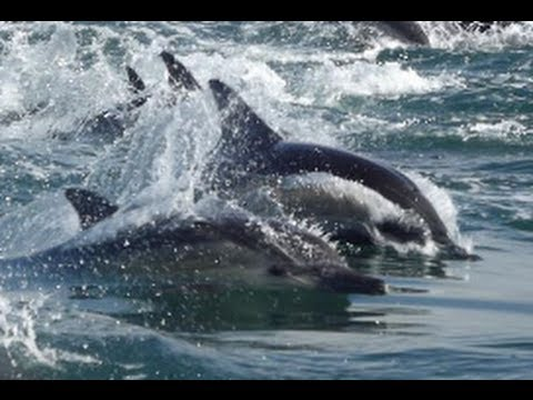 Dolphin pod forming a bait ball in South Africa.