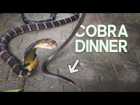 King Cobra eating a Sunbeam Snake | Chrisweeet's lab