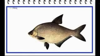 видео Виды акул, названия, фото. Тигровая, песчаная, сахалинская и гигантская акулы