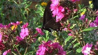 Махаон... Самая крупная дневная бабочка.