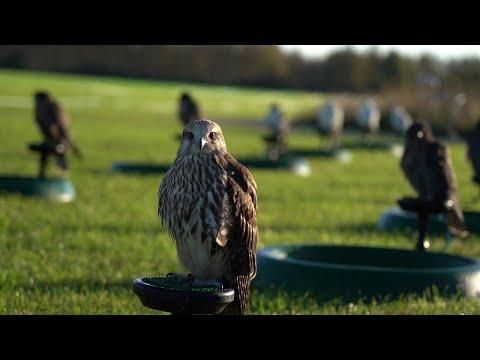British Falcon Races 2020 at Vowley - Short Highlights