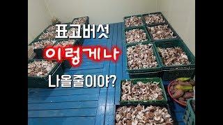 원목 표고버섯 수확중!!! 한동에서 300kg 돌파중