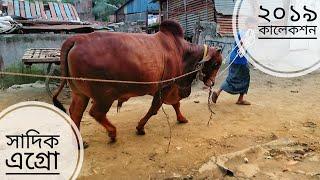 019 | Eid ul Azha 2019 | Deshi | Sibbi | Aussie Bulls | Afternoon Walk | Sadeeq Agro | ZbGH 2019