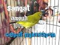 Pleci Betina Memanggil Jantan  Mp3 - Mp4 Download