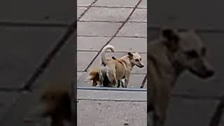 Парнуха собак