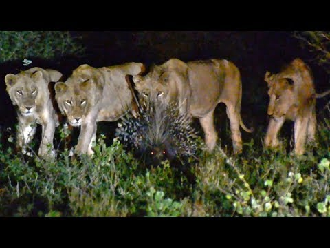 7 Male Lions Can't Take Down 1 Porcupine!