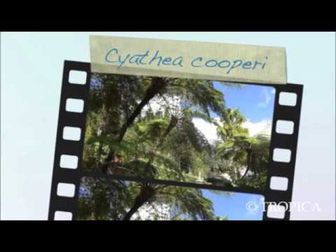 Cythaea cooperi TROPICA - 200 feine Sporen Australischer Schuppenbaumfarn