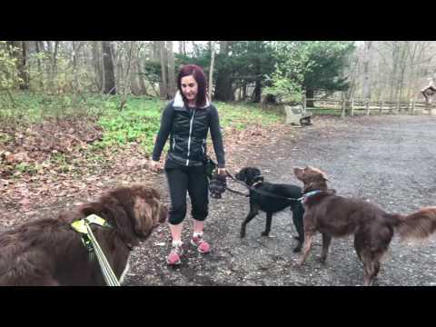 Newfoundland dog walk
