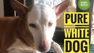 Dog - Pure White Dog