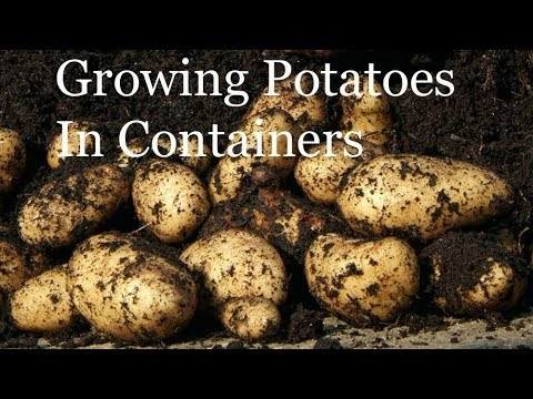 Allotment Diary : Planting / Growing Container Potatoes