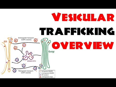Vesicle trafficking | vesicle transport in cell