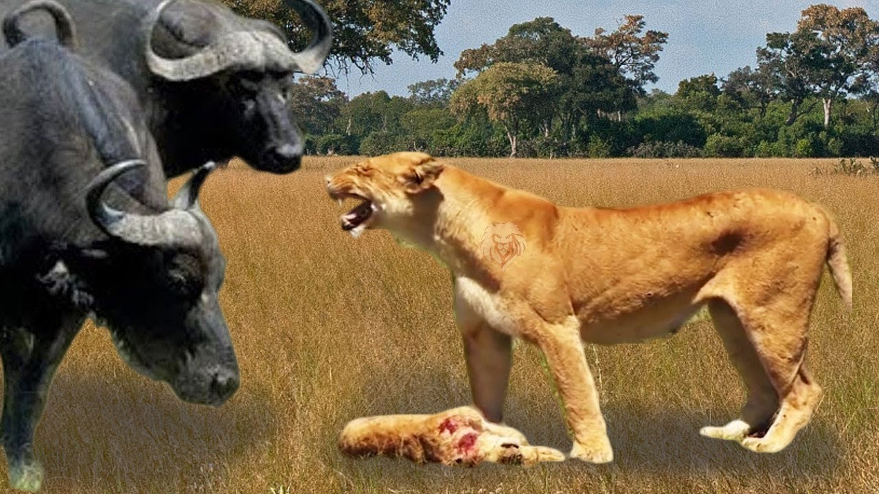 Download Angry Buffalo herd kills mother Lion and her baby, Wild Animals Attack