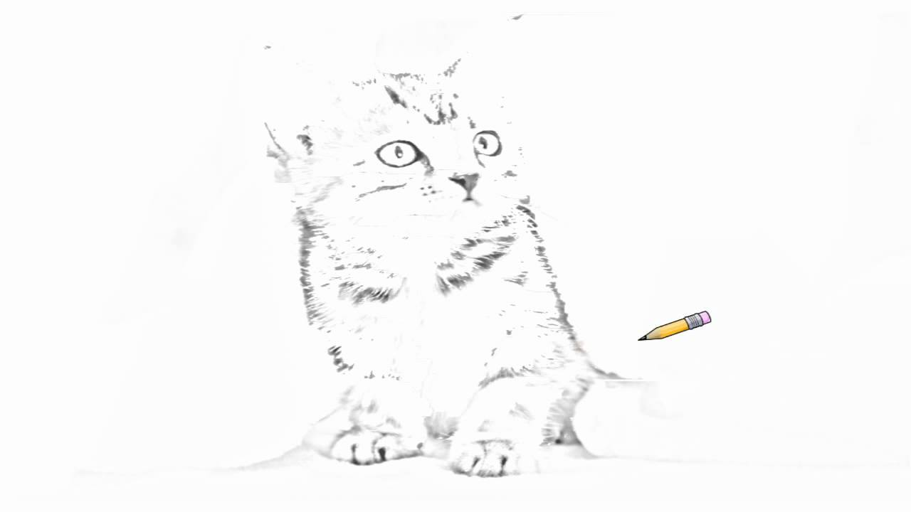 American Shorthair Cat Drawing