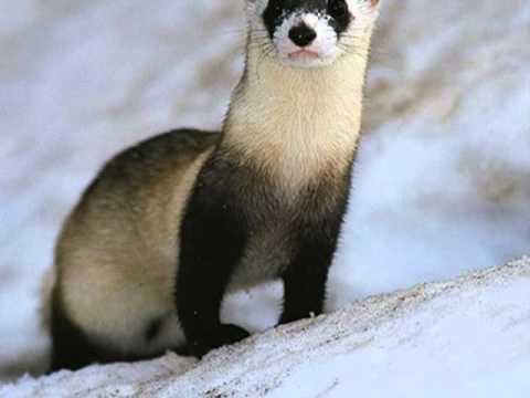 Top 10 Endangered Species In North America