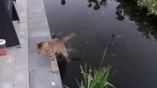Cats Falling in Water