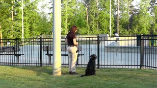 Puppy Training, Dex, Goldendoodle, Day 15: Distraction Training, Skate, Basketball
