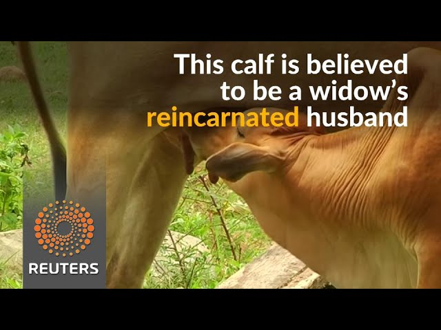 'Till death do us part', says Cambodian woman to new-born calf